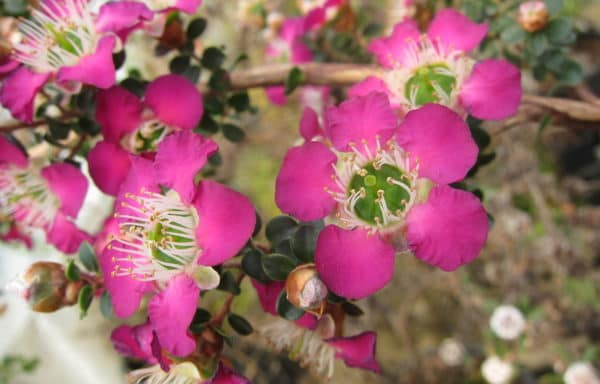 Leptospermum 'Purple Haze'